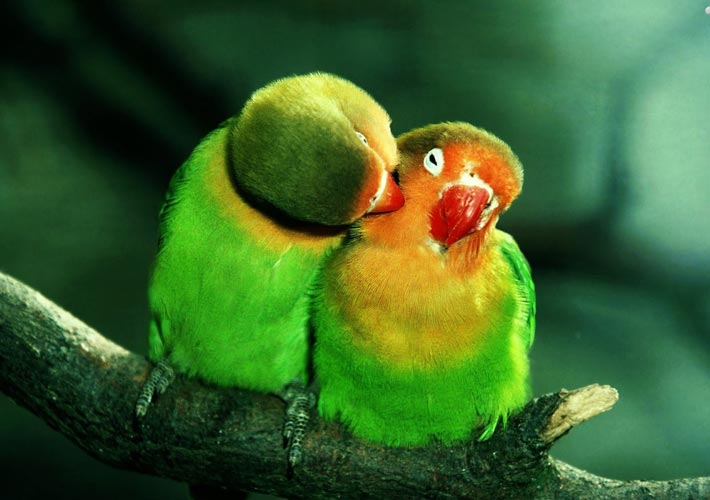 parrots-in-love-wallpaper